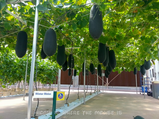 Winter Melons hang from vines in a modern garden